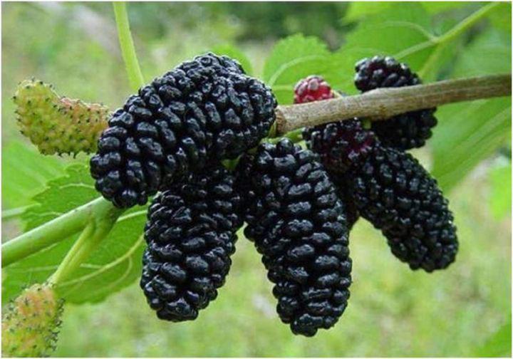 Шелковица-черная