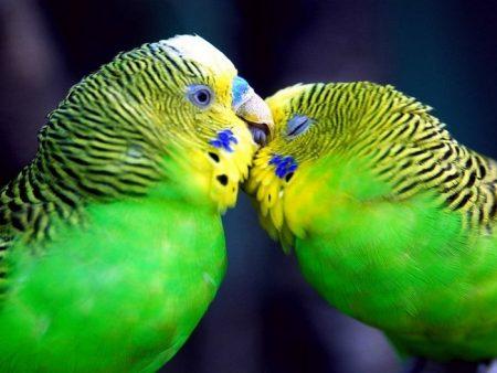домашние животные попугаи